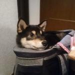 犬のリュックキャリー(クレート)はどんな形がいいのか。リュック型のメリットを紹介します。