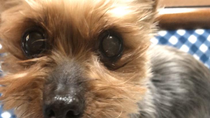 柴犬は飼いやすい?実際に飼っていた洋犬との比較。