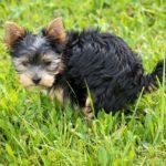 【実証済み】犬の食糞(ウンチを食べる) 原因とやめさせる方法4選!